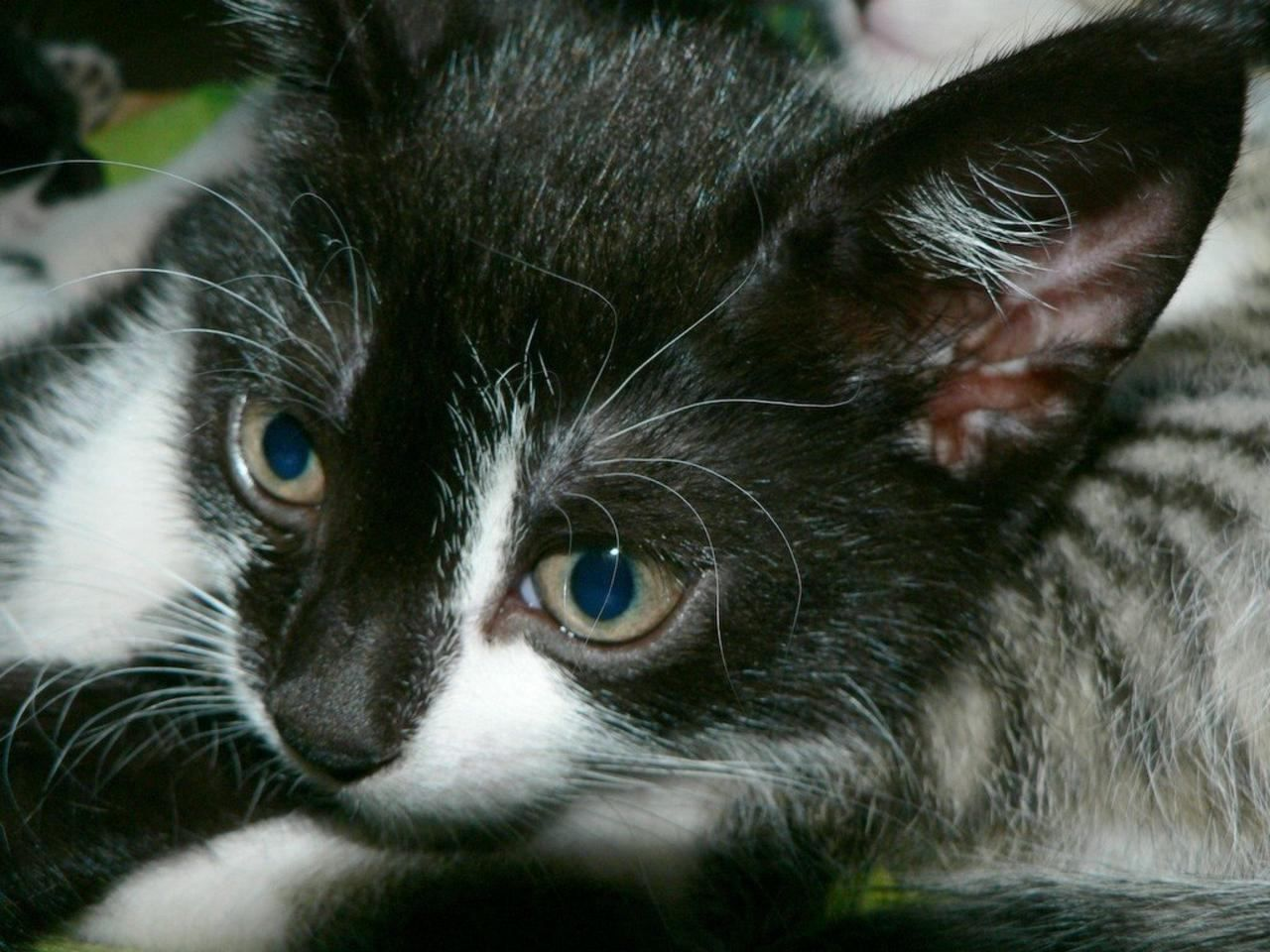 Close-up of kitten; two siblings visible in the background